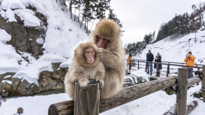 Jigokudani Snow Monkey Park Tour